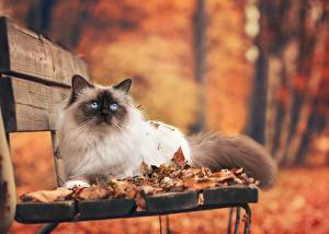 Фотография Кот Осень Скамейка Лист животное
