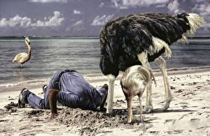 Обои Страусы Мужчины Песок Юмор