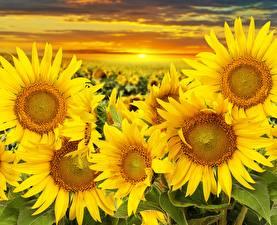 Обои Подсолнухи Рассветы и закаты Поля Цветы фото