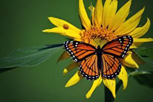 Картинки Бабочки Насекомые Данаида монарх Животные