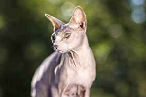 Фото Коты Сфинкс кошка