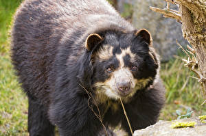 Фото Медведи ©Tambako The Jaguar Spectacled bear Животные