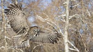 Обои Птицы Совообразные Полет Крылья Животные фото