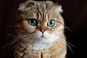 Картинки Кошки Глаза Шотландская вислоухая Смотрят Морда Усы Вибриссы