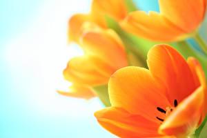 Обои Тюльпаны Крупным планом Оранжевый Цветы фото