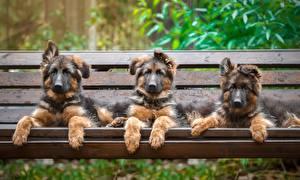Фото Собаки Три Овчарки Щенка Скамейка Животные