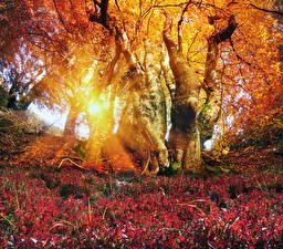 Фотографии Украина Осенние Карпаты Ствол дерева Лучи света Листва Деревья