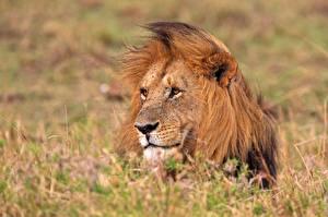 Обои Львы Голова Животные фото
