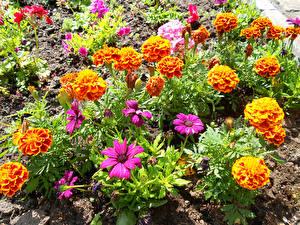 Фотографии Бархатцы Космея Крупным планом цветок