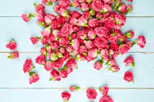 Фотографии Розы Много Розовый Бутон Цветы