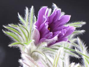 Обои Крупным планом Прострел Фиолетовый Цветы фото