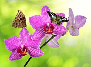 Обои Орхидеи Крупным планом Бабочки Розовый Цветы фото