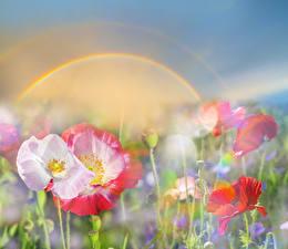 Обои Маки Радуга Цветы