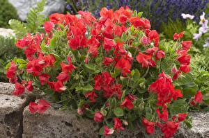 Обои Душистый горошек Крупным планом Красный Цветы фото