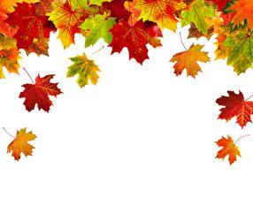 Фотографии Осень Вблизи Белый фон Листья Клён Шаблон поздравительной открытки