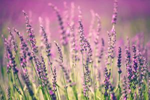 Обои Лаванда Крупным планом Цветы фото