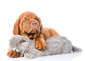 Картинка Собаки Коты Бордоский дог Белый фон 2 Щенок животное