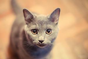 Обои Кошки Взгляд Серый Животные фото