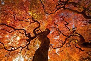 Обои Осень Деревья Ствол дерева Ветки Вид снизу Природа фото