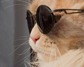 Обои Кошки Рыжий Очки Морда Усы Вибриссы Животные фото