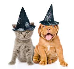 Фотографии Собаки Кошка Хеллоуин Белый фон Щенки Котята Шляпа Два Бордоский дог животное