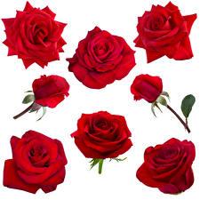Картинки Розы Крупным планом Белый фон Бордовый Цветы