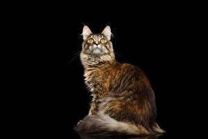Картинка Кошки Мейн-кун Черный фон Смотрит Животные