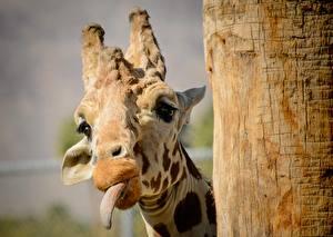 Картинка Жирафы Язык (анатомия) Голова Животные