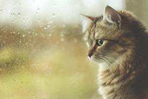 Картинки Коты Окно Капли Стекло Животные