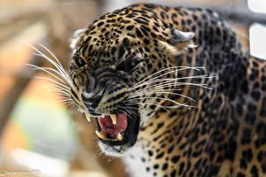 Обои Леопарды Оскал Зубы Усы Вибриссы Животные фото