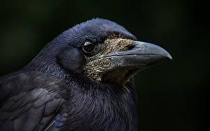 Фотография Вороны Птицы Клюв Голова Животные
