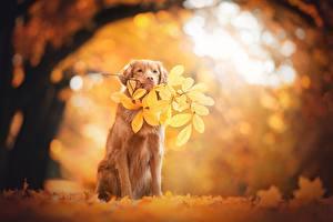 Обои Осень Ретривер Животные фото