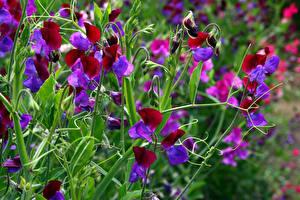 Обои Душистый горошек Крупным планом Цветы фото