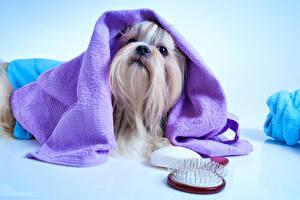 Фотография Собаки Полотенце Ши-тцу Животные