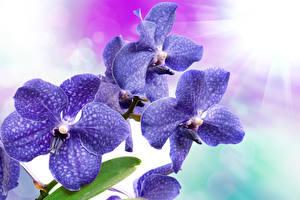 Обои Орхидеи Крупным планом Синий Цветы фото