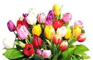 Обои Тюльпаны Крупным планом Белый фон Цветы фото