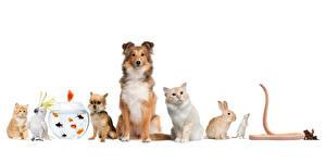 Картинка Собаки Кошки Кролики Попугаи Рыбы Лягушки Змеи Бордер-колли Чихуахуа Белый фон