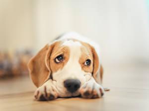 Картинки Собаки Бигль Лапы