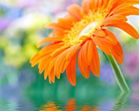 Обои Герберы Крупным планом Вода Оранжевый Цветы фото