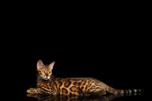 Фотографии Коты Бенгальская кошка Черный фон Смотрит Gold