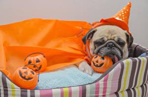 Фотография Хеллоуин Собаки Тыква Мопс Униформа