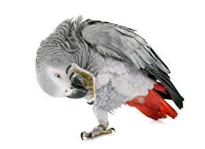 Фотография Птицы Попугаи Белом фоне животное
