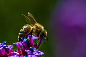 Фотография Пчелы Насекомые