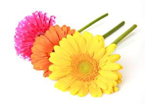 Обои Герберы Белом фоне цветок