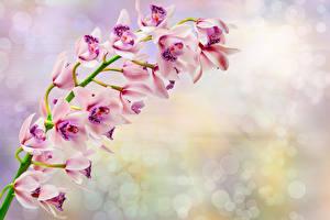 Обои Орхидеи Крупным планом Цветы фото