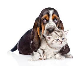 Фото Собаки Коты Белый фон Щенков Котенок Вдвоем Бассет хаунд животное