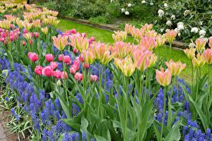 Фотографии Нидерланды Тюльпаны Гиацинты Keukenhof Lisse