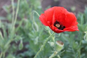 Фото Маки Красные Цветы