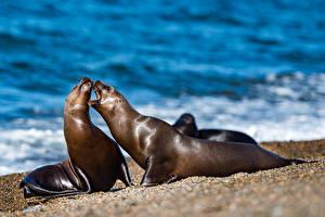 Обои Морские котики Побережье Любовь Две