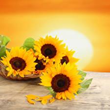 Обои Подсолнухи Крупным планом Трое 3 Лепестки Солнце Цветы фото